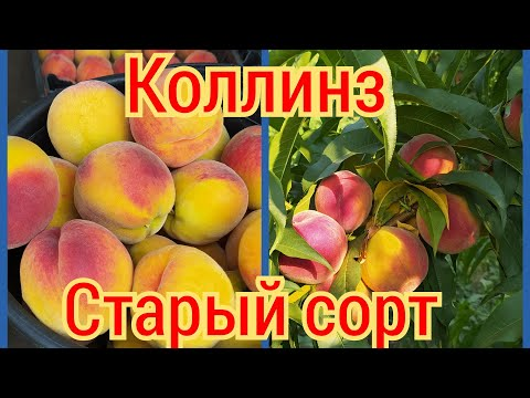 Старый сорт раннего персика. Стоит ли садить?