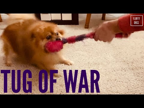 funny-little-dog-plays-tug-of-war-(pomeranian)