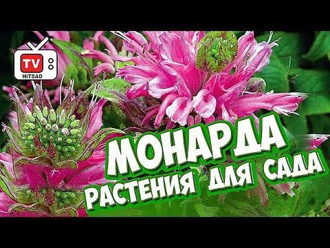 Цветы для сада 🌺 МОНАРДА 🌺 Обзор Хитсад ТВ