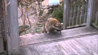 Blind Raccoon and his guard cat