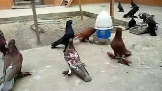 Андижанские голуби Содикжона Исакова