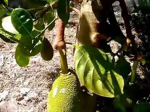 Kỹ thuật cắt tỉa trái mít changai siêu sớm
