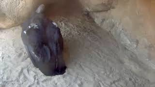 Condor Chick #923 Makes A Quick Trip To The Nest Cavity – Sept. 11, 2018 thumbnail