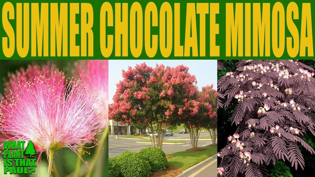 Summer chocolate mimosa tree albizia julibrissin persian silk summer chocolate mimosa tree albizia julibrissin persian silk tree mightylinksfo