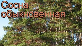Сосна обыкновенная (pinus sylvestris) ???? обыкновенная сосна обзор: как сажать, саженцы сосны