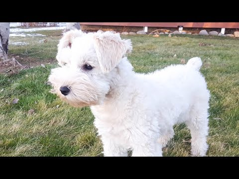 Miniature Schnauzer Puppy in Training - Jackson