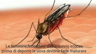 La zanzara anofele(Anofeles maculipennis)