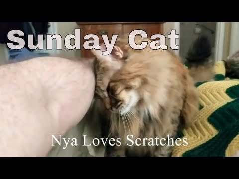 Sunday Cat: Maine coon cat reacting to ear scratches