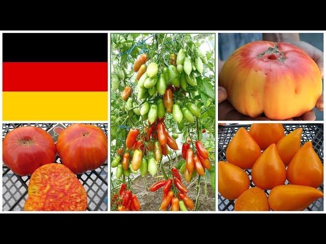 Немецкие томаты: старинные и современные сорта