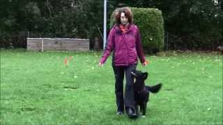 Obedience with a Flatcoated Retriever