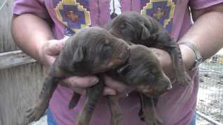 Hope's Puppies Almost One Week Old 8/20/13