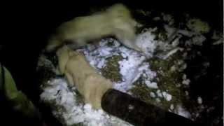 Охота на норку в России видео
