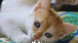 8hours Sleep and relax Music For Dogs, Cats & All Pets, Stress Relief, Anxiety Healing kittens 0050 thumbnail