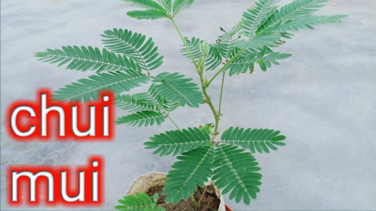 Chui Mui -Magical plants-touch me not plants /mimosa pudica care / plant  care