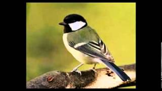 Bird Chirping Sound Effect