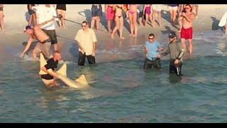 HUGE Sawfish Carpenter Shark Caught at Naples Pier!