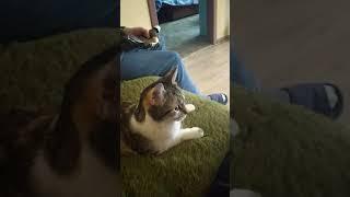 Кошка курит бульбулятор водник сухой