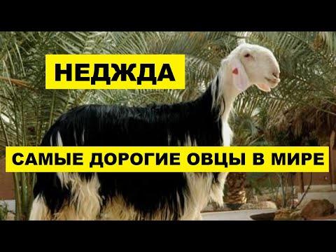 Вопрос: Когда овцы чувствуют безопасность, при каких условиях?
