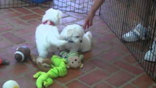 Two  Available Maltese Rescue Puppies