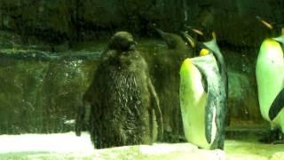 ペンギン Xacti DMX-CG11撮影中面白いペンギンの子供を見つけました。氷...