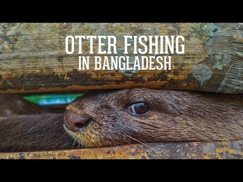 Traditional Otter Fishing In Bangladesh - The Last Otter Fishermen