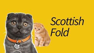 10 Scottish Fold Facts!—#4 is often OVERLOOKED!