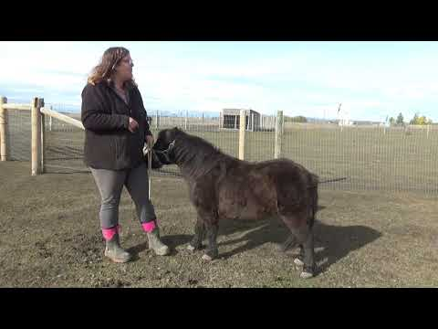What To Feed A Miniature Horse - Body Condition Scoring