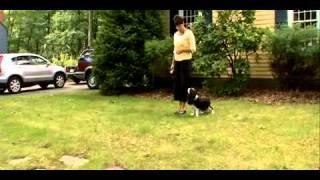 Dogs 101  Cavalier King Charles Spaniel