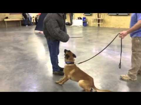 grenade-handler-friendly-malinois-for-sale-home-protection