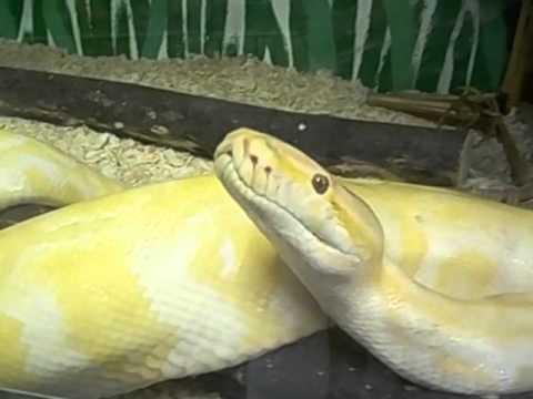 Swaziland  Lobamba 15 Yellow snake very active  Serpiente amarilla activa en terrario  2016