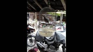 Koak Kaok Lombok