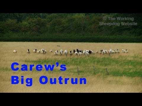 Working sheepdog Carew faces her longest outrun - 500 metres!