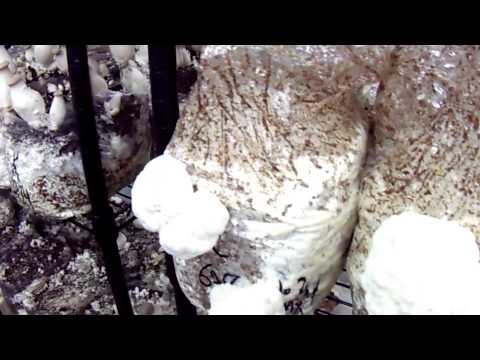Mushroom Adventures Episode 20 -- Lion's Mane Hericium Americanum