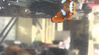teardrop clownfish