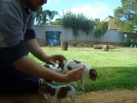 Tenterfield Terrier Rosie 3rd  (5weeks)