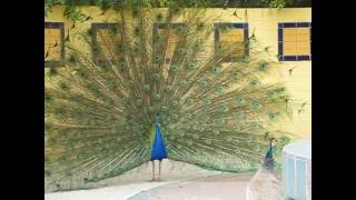 Peacock Mating Dance Antics