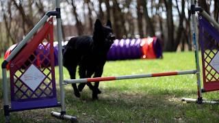 Aki ; Belgian Shepherd Groenendael ~ 18months  | tricks/frisbee/agility/obedience |