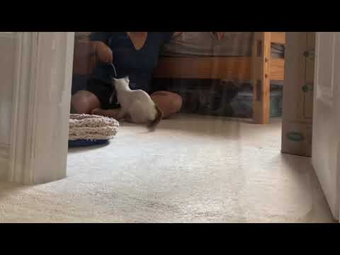Balinese Cat Darci playing fetch