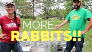 Advancing our Rabbit Herd!!!  New Rabbit Breed on the Homestead