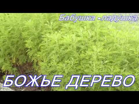 Божье дерево ценное и лекарственное растение.