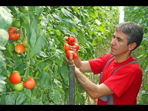 Tomate en invernadero atado de cultivos con Tomsystem