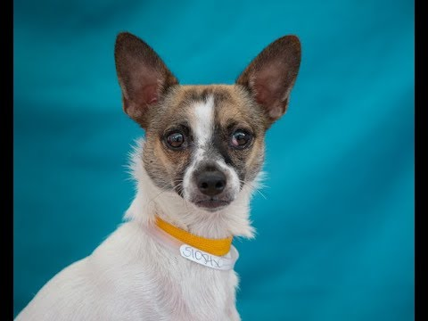 A5108480 Spike   Parson Russell Terrier/Chihuahua Puppy