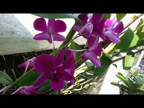 all purple flowers longlasting dendrobium orchid