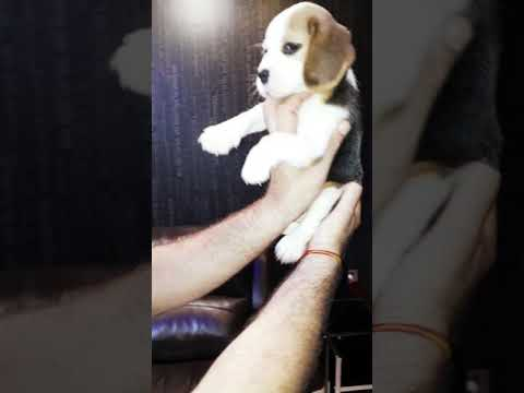 Shows off Beautiful beagle puppy