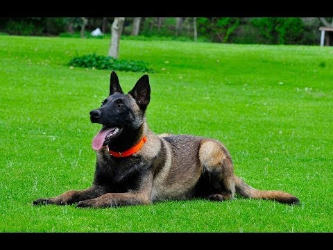 Basic Obedience Training Belgian Malinois for sale 786-206-9330