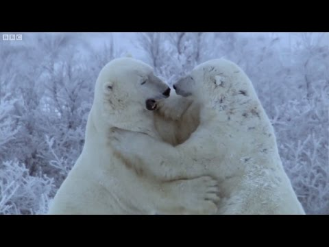 Polar Bear Fight | Nature's Great Events | BBC