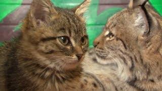 Усатая няня: в иркутском зоопарке рысь усыновила котят