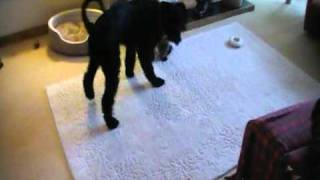 Giant Schnauzer Puppy Vs Toy Poodle Puppy With The Crazy Critter!