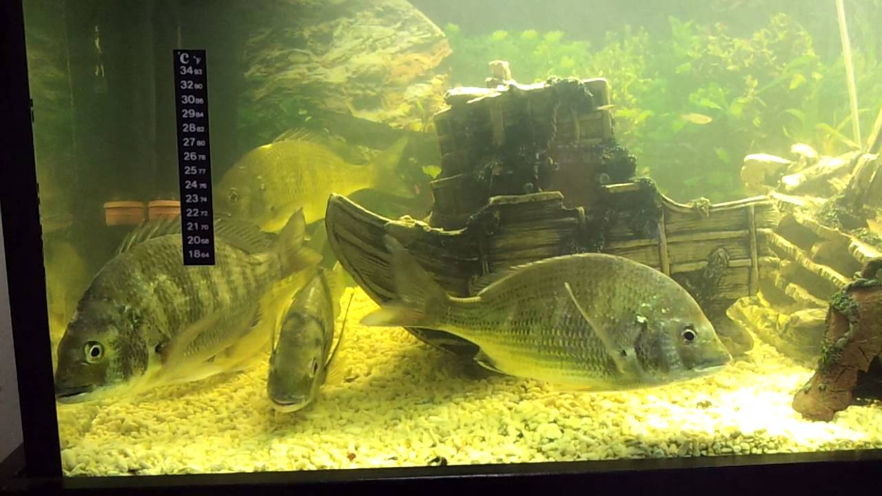 Silver bream fish tank youtube for Bluegill fish tank