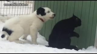 Котейка против алабаев или выход есть всегда!